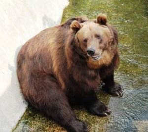 Brown Bear at Moscow Zoo