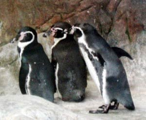 Penguins at Moscow Zoo